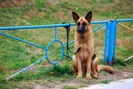 Dog breed German Shepherd tied to the fence in a park