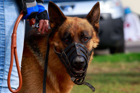 The dog German Shepherd close-up in muzzle