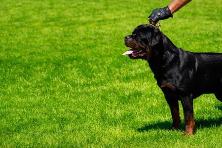 Dog breed Rottweiler in park on green grass