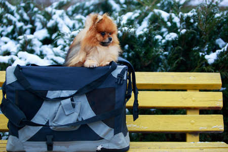 Small pomeranian spitz in a bag on the yellow bench