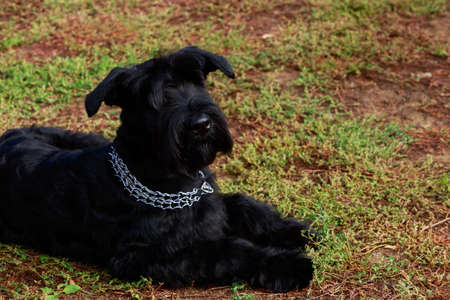 The dog breed Giant Schnauzer lying on green grass