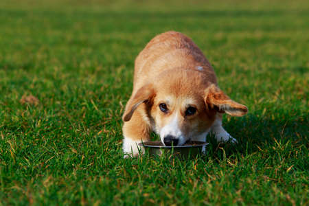 Little young puppy breed Welsh Corgi Pembroke sitting on the green grass and eats