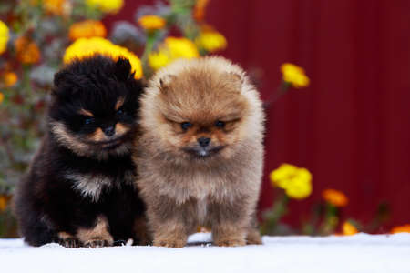 Two puppies breed Pomeranian Spitz on a background of flowers