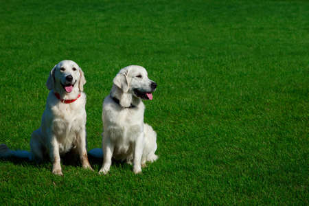 Two Golden retriever dog on a green grass