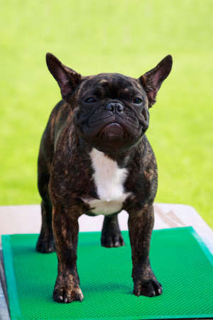 Dog breed French Bulldog the close-up on a desk