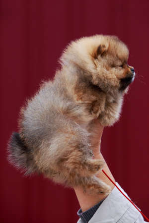 Small dog breed Pomeranian Spitz on the hands