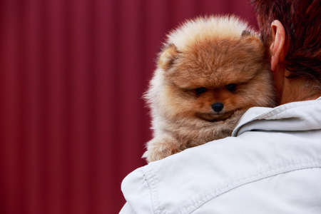 Small dog breed Pomeranian Spitz on the shoulder Stock Photo