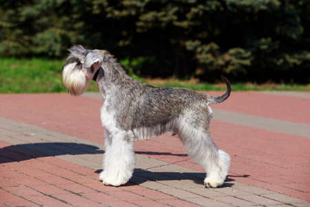 Dog breed Miniature Schnauzer close up on the pavement Фото со стока