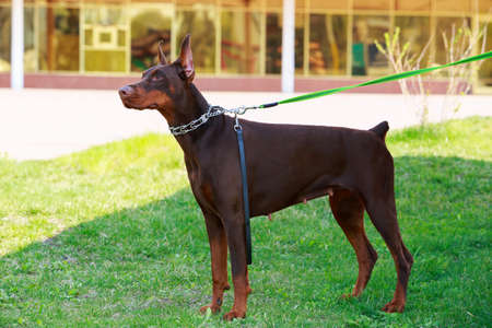 Dog breed Doberman stands on green grass Stock Photo