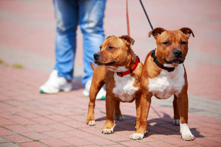 Two dogs of breed Staffordshire bull terrier close-up