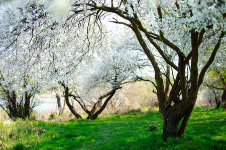 Beautiful flowering of the apricot tree in early spring Stockfoto - 123220014