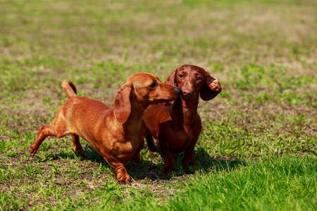 Deux chiens de race teckel sur l'herbe verte