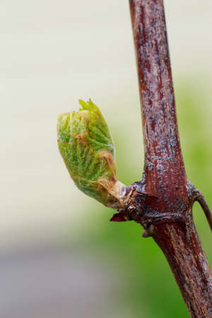 young sprout of grapes on a blurred background Imagens