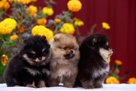 Three puppies breed Pomeranian Spitz on a background of flowers
