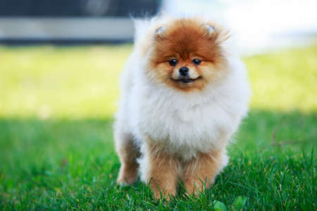 The small Pomeranian Spitz stand on green grass