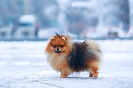 the dog breed pomeranian spitz Foto de archivo