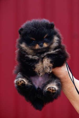 Small dog breed Pomeranian Spitz on the hand
