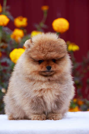 Small dog breed Pomeranian Spitz sits on a background of flowers