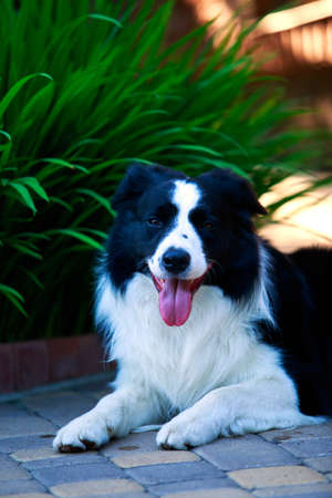 Dog Border Collie lying in a garden Stock Photo