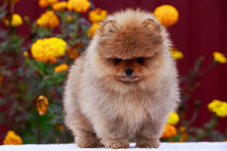Small dog breed Pomeranian Spitz stands on a background of flowers