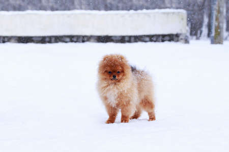 Small dog breed Pomeranian Spitz stands on white snow