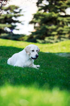 The dog breed Golden retriever on a green grass