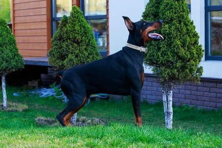 Dog breed Doberman stands on green grass Archivio Fotografico