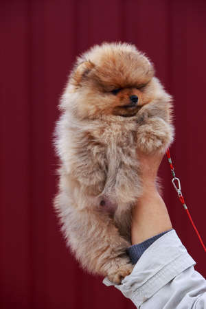 Small dog breed Pomeranian Spitz on the hand