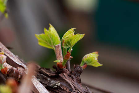 young sprout of grapes on a blurred background Stock Photo