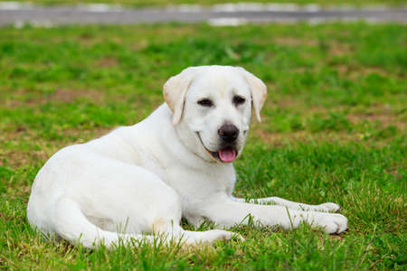 Labrador retriever puppy lying on the green grass 写真素材