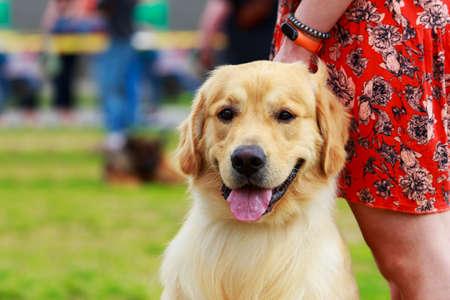 Portrait d'un chien de race Golden Retriever
