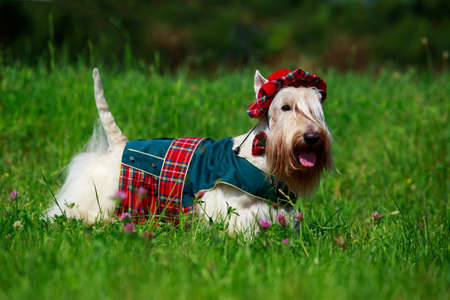 Dog breed Scottish Terrier in a red suit on the grass