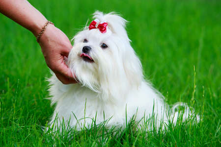 Cute maltese dog sitting in green grass Banco de Imagens