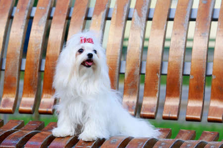One dog breed Maltese on a wooden bench Banco de Imagens