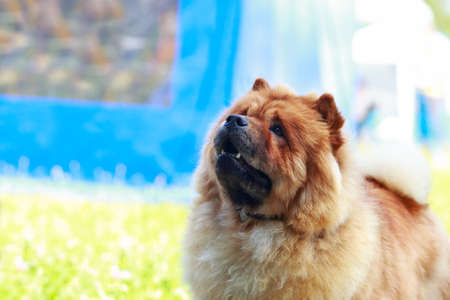 The dog breed chow chow in park on green grass