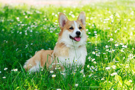 Pembroke Welsh Corgi in a park on green grass
