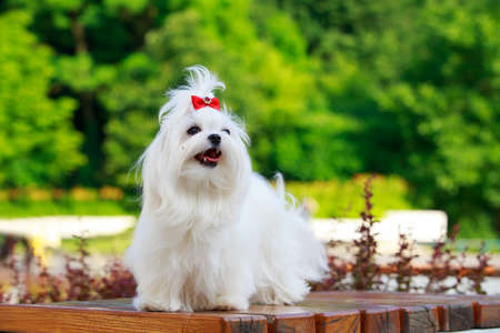Cute dog breed Maltese is standing on a pedestal in the park