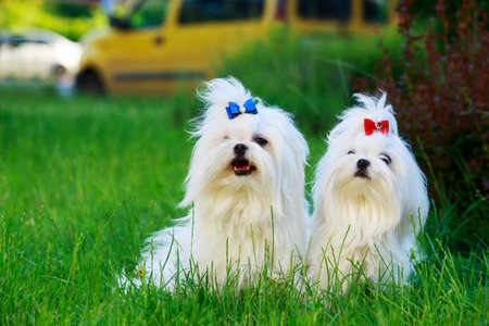 Two dogs of maltese breed sit on the grass