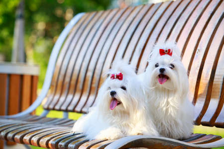 Two dogs of breed Maltese on a wooden bench