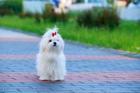 Cute dog breed Maltese stands on paving slabs Banco de Imagens