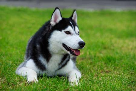 Dog breed Siberian Husky lying on the green grass