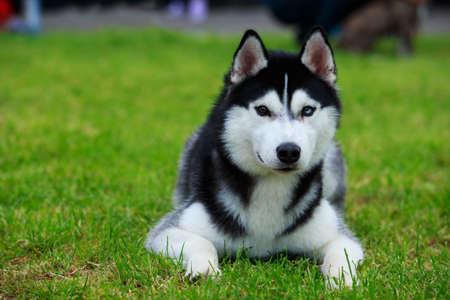 Dog breed Siberian Husky lying on the green grass 写真素材