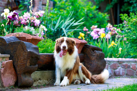 Dog Border Collie sitting in a flower garden