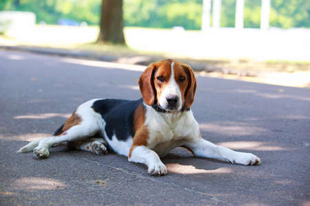 The dog breed American Foxhound in a public park