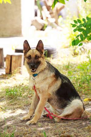 Dog breed German Shepherd resting in the park