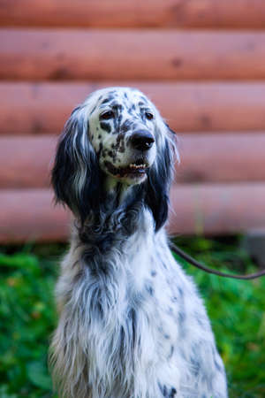 The dog breed English Setter in a public park