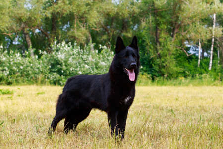 German shepherd breed dog standing in the grass
