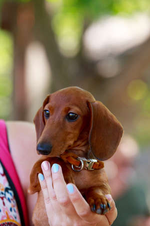 Small puppy of dachshund breed on hands Stock Photo