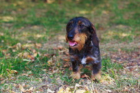 The dog breed wire-haired dachshund close-up 写真素材