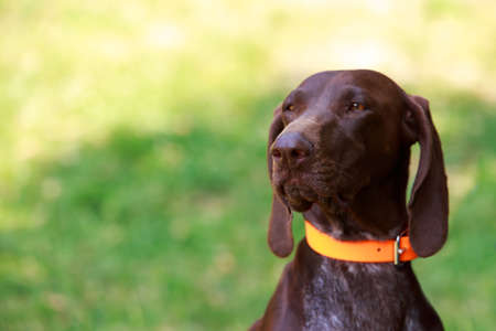 Dog breed German Shorthair Pointer close up